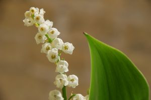 775552_lily_of_the_valley
