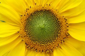 1065162_sunflower
